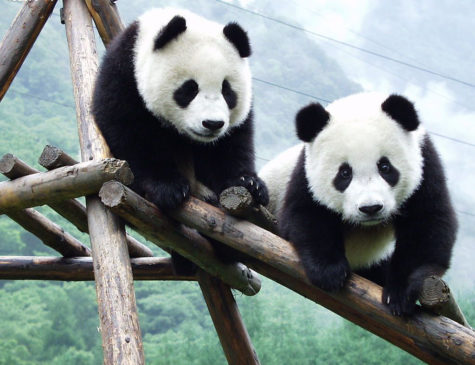 """Giant Pandas now Considered """"Vulnerable"""""""