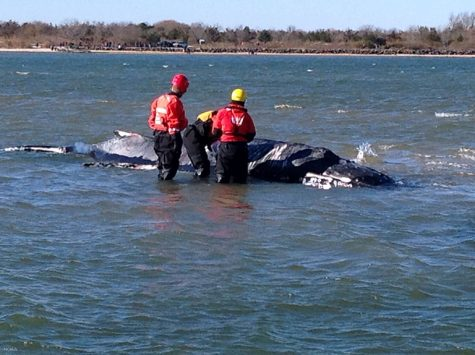 Slow Death of Humpback Whale Traumatizes Moriches Bay Residents